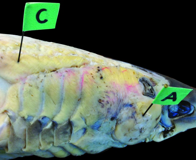 C is for cucullaris, located dorsal to the gill arch musculature as shown in this dog fish (Squalus). In case you were wondering, A is for adductor mandibulae. And my students said that I didn't give them enough hints. Photo by Sarah Longo.